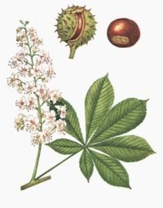 emorroidi rimedi naturali - ippocastano